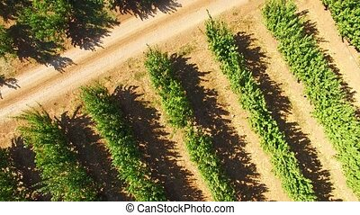 Rows Of Apple Trees Growing In Large Green Garden