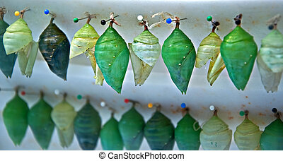 Rows of Butterfly Chrysalis Pupa - Stock image has twos rows...