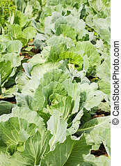 Rows of cabbage in a garden