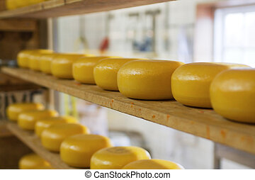 Rows of cheese maturing in factory - Rows of round cheeses...
