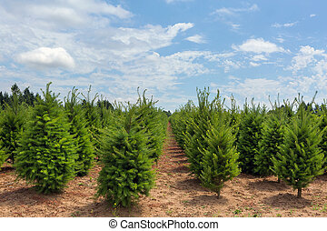 Rows of Christmas Trees at Farm in Oregon