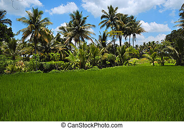 Rows of Coconut Palm Trees - Rice field and coconut palms at...