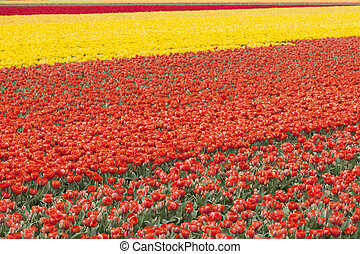 rows of colorful tulips in flower field in holland