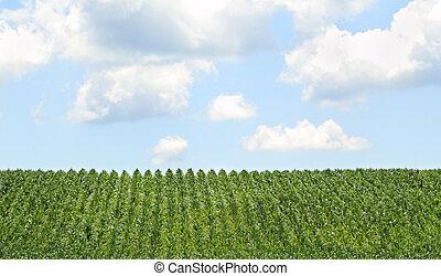 Farm field of rows of corn crop