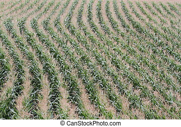 Rows of corn in a field