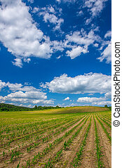 Rows of Corn Plants Growing in the Field Under Blue Sky