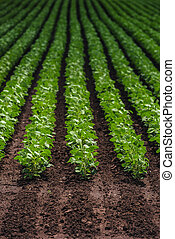 Rows of cultivated soy bean crops in field