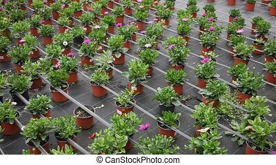 Rows of dimorfoteca plants in pots in greenhouse, no people...