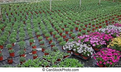 Rows of dimorfoteca plants in pots in greenhouse, no people. High quality FullHD footage