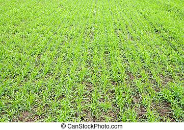 fall wheat - rows of fall wheat