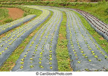 Rows of fresh green lettuce growing in a field on organic farm