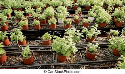 Rows of fresh herbs melissa and mint growing in flowerpots ...