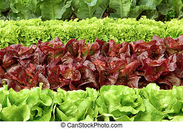 Rows of fresh lettuce plants on a field, ready to be harvested