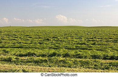 rows of fresh mown grass during the preparation of fodder for farm animals, a summer landscape on an agricultural field