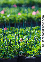 Rows of geranium plants in a greenhouse