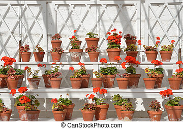 rows of geraniums in greenhouse