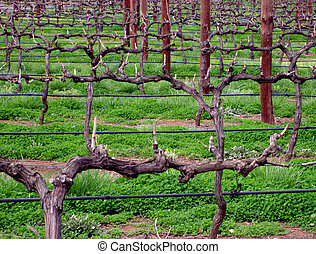 Rows of grape vines, trained along wires, growing at a South Australian winery.
