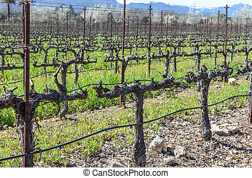 Rows of Grape Vines in the Winter