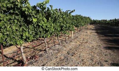 Rows of grape vines - Lush, panorama of ripe wine grapes on...