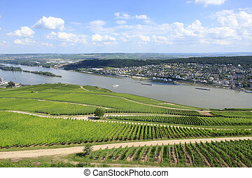 Rows of grape vines Rhine Valley