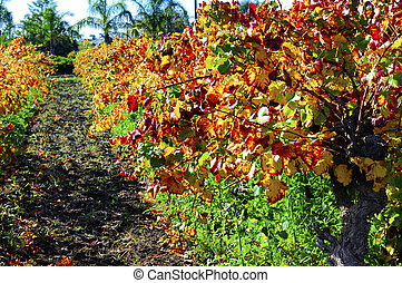 Rows of grape vines with autumn leaves in Australian winery vineyard.