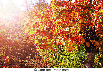 Rows of grape vines with autumn leaves in Australian winery vineyard with golden sunset.