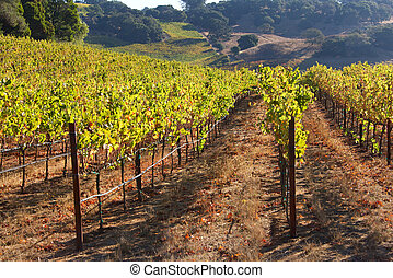 Rows of Grape Vines with hillside behind, Napa Valley