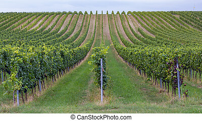 Rows of grapes before harvesting, Austria, Burgenland