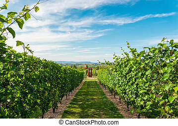 Rows of grapes before harvesting