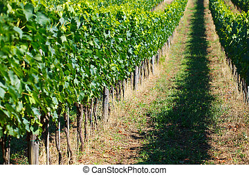 rows of grapes in Tuscany, Italy
