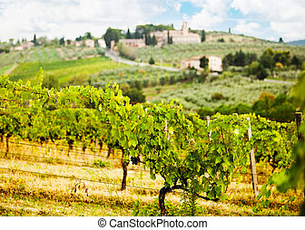 Rows of Grapes in Tuscany Italy Vineyard