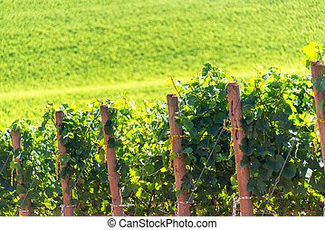 Rows of Grapes - Rows of grapes in Oregon wine country need...