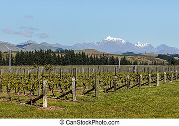 rows of grapevine growing in New Zealand vineyard