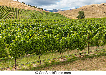 rows of grapevine growing in vineyard in Marlborough, New Zealand