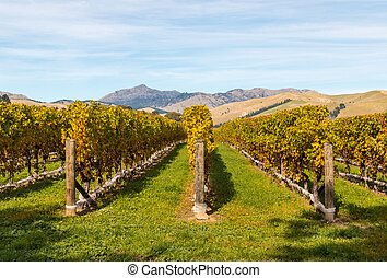rows of grapevine in autumn in New Zealand vineyard