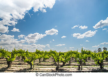 rows of grapevines and big sky - rows of grapevines growing...