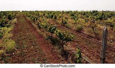 Rows of grapevines growing in rural countryside. Rows of...