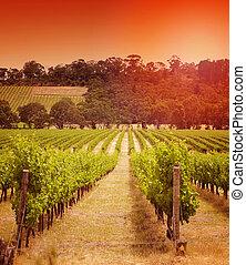 Rows of grapevines taken at Australia's prime wine growing winery area in McLaren Vale, Fleurieu Peninsula, South Australia. Sunset.
