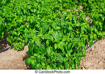 Rows of green basil on a farm field on sunny day