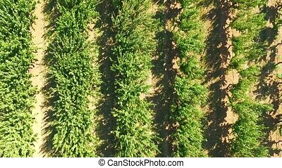 rows of green fruit trees. bird's-eye view. - rows of green...