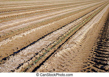 rows of green seedling in a tomatoes field