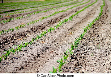 rows of green seedling in a wheat field