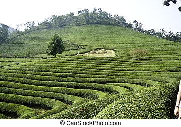 Rows of Green Tea - Green tea field in Boseong, Korea with ...