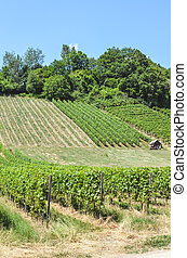 Rows of green vineyards on the slope close to Neuchatel Lake...