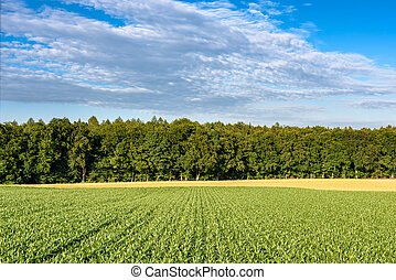 Rows of growing maize plants leading to the wood