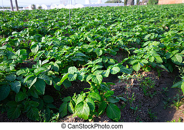 Rows of growing potatoes on garden beds