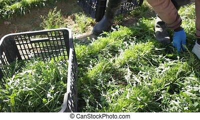 Rows of harvest of arugula in garden outdoor, hands of ...