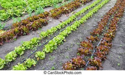 Rows of harvest of green lettuce in garden, no people. High quality 4k footage
