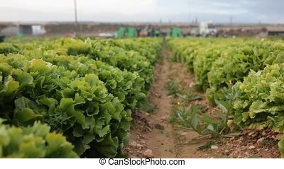 Rows of harvest of green lettuce in garden, no people. High quality FullHD footage