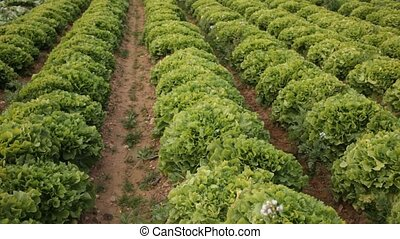 Rows of harvest of green lettuce in garden, no people. High ...